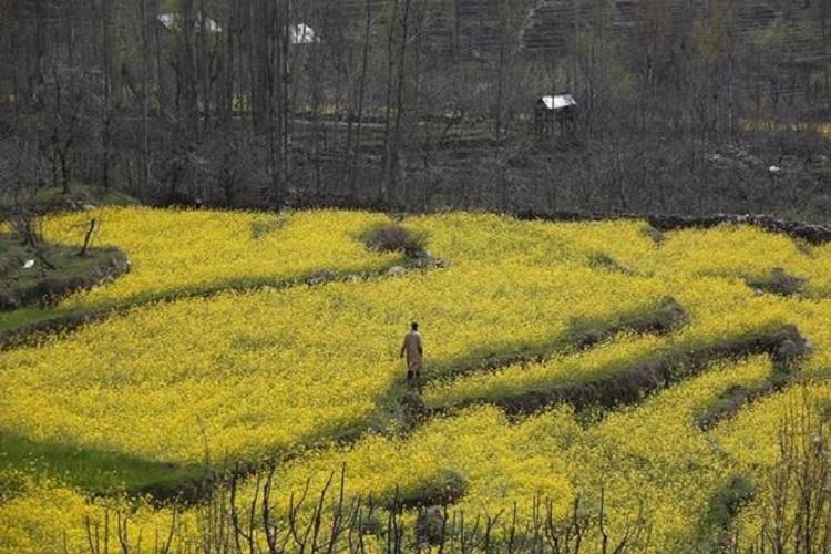 GM mustard will not drive oil revolution Experts warn against scientific fraud