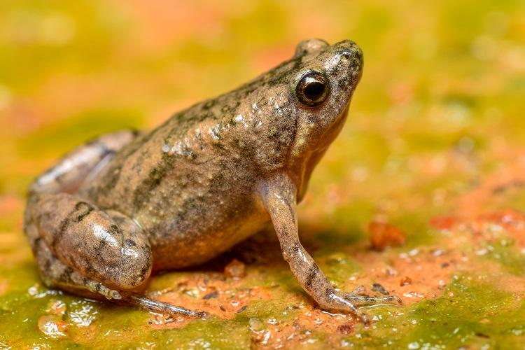 Researchers discover new species of frog from Mangaluru