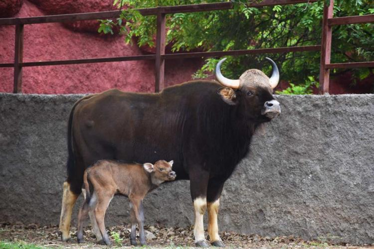 The Gaur calf that was born at the Hyderabad zoo