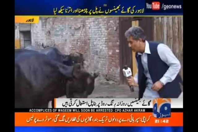 Watch This Pakistani TV reporter interviews cattle for using an overhead bridge