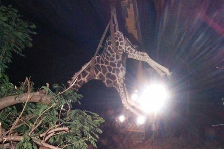 Giraffe suffocates to death at Chennais Vandalur zoo inexpert handlers to blame