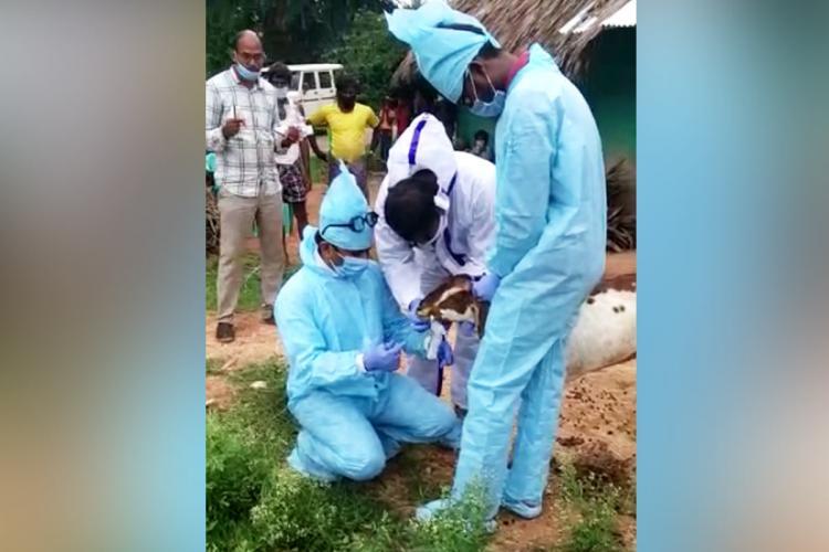 Samples of 10 goats tested for coronavirus in Karnataka return negative