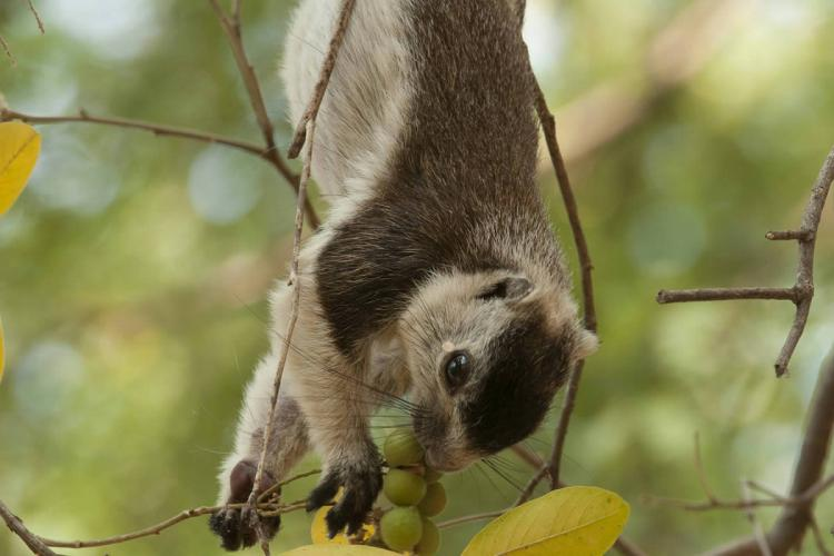 The endangered grizzled giant squirrel photographed hanging upside down feeding on fruit from a tree in the Cauvery wildlife sanctuary
