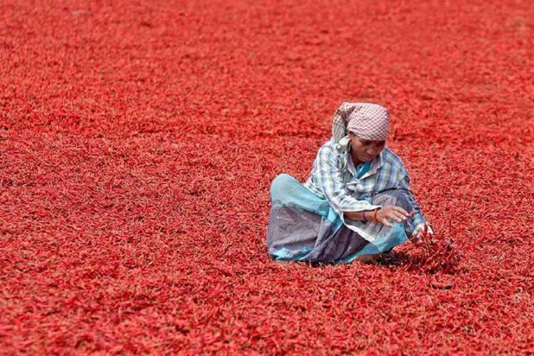 A farmer spreads out chillies on the ground in India