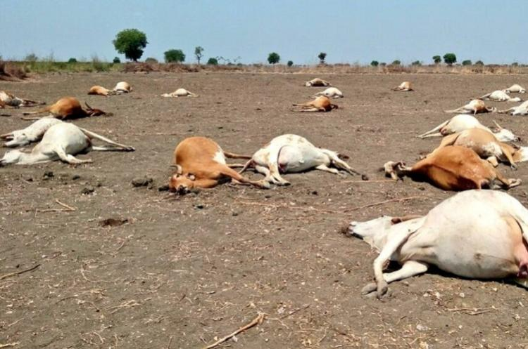 56 cows die after feeding on pesticides in Daida village in Andhra