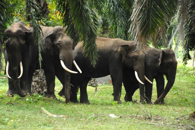 Lost and scared four elephants hide in sugarcane fields near town in Mysuru district