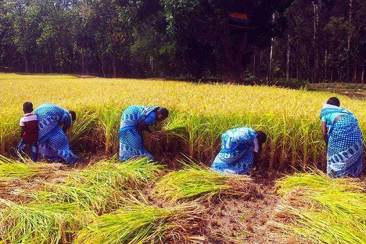 Back to the roots Siruvanis Irula farmers return to organic farming and reap a great bounty