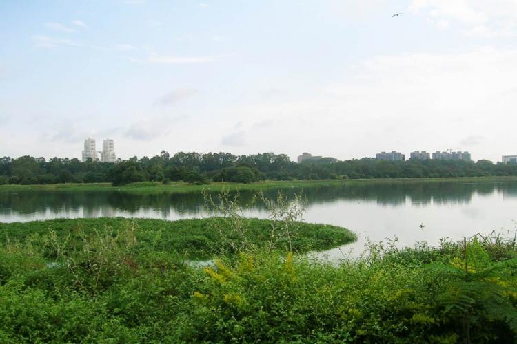 Photo of Hebbal lake replete with water weeds before it was restored