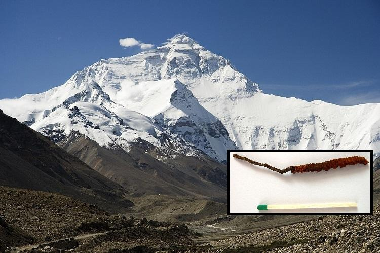 Worm fungi or enhancement drug All about the Himalayan Viagra and why its endangered