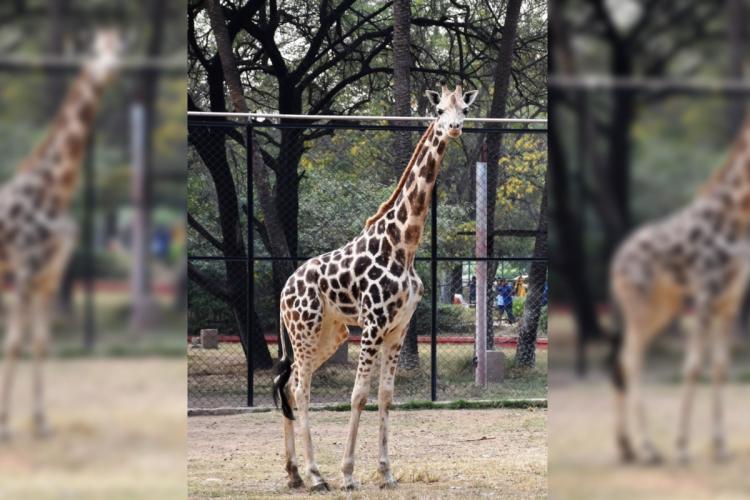 Hyderabad zoo giraffe Bubli