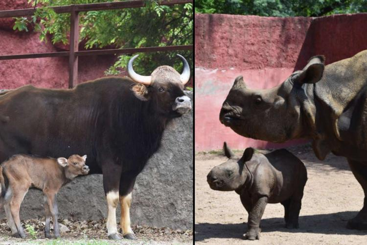 A baby gaur and baby rhinoceros with their mothers at the Nehru Zoological Park in Hyderabad