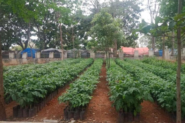 Saplings in Hyderabad stored as part of the Telangana government flagship scheme Haritha Haram