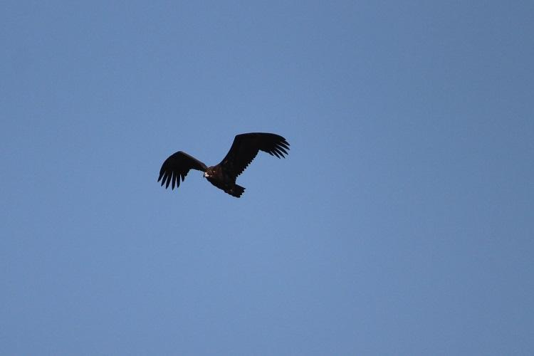 Rare sighting of the reclusive cinereous vulture in Nilgiris has ornithologists excited