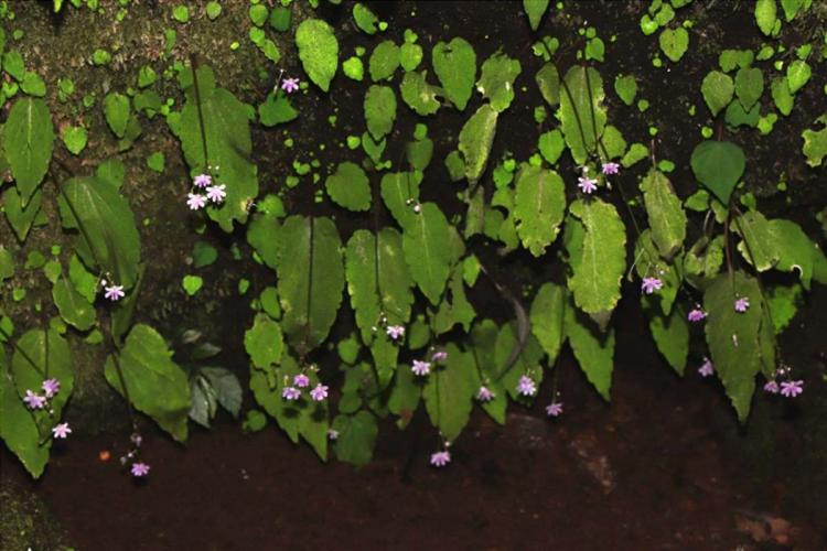 Impatiens nidholapathra one of the endangered plant species newly discovered