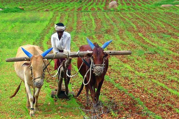 A farmer ploughs his field with two bullocks