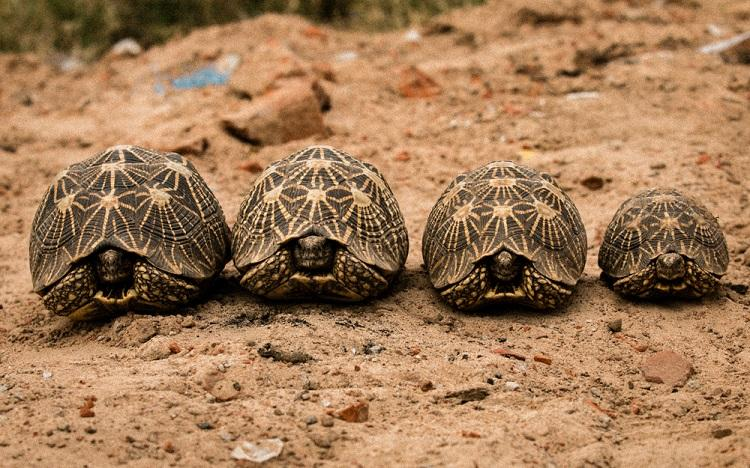 Over 1000 endangered tortoises turtles seized in Bengaluru while being smuggled off to China