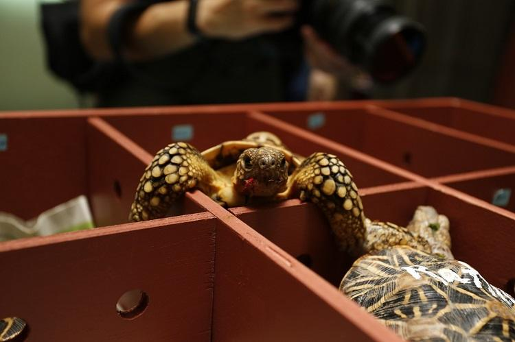 500 Indian star tortoises being smuggled in train rescued from Vijayawada station