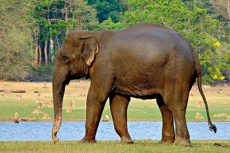Kerala drought 18 jumbos died in Wayanad forests alone this summer