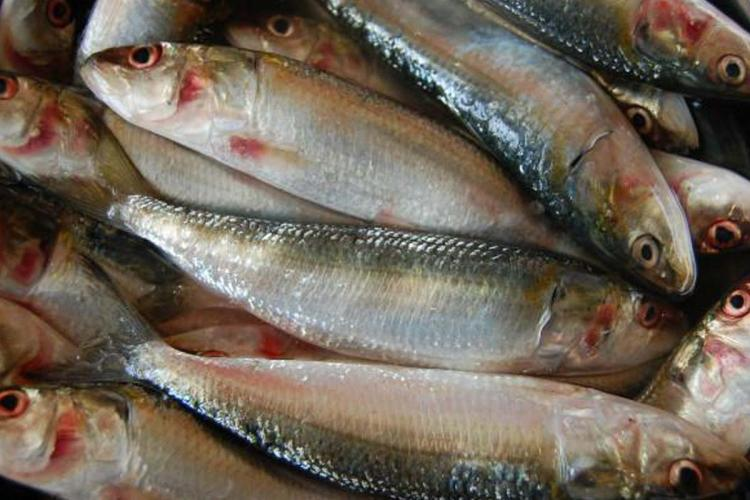 Kerala records lowest catch of Indian oil sardine in the past twenty years