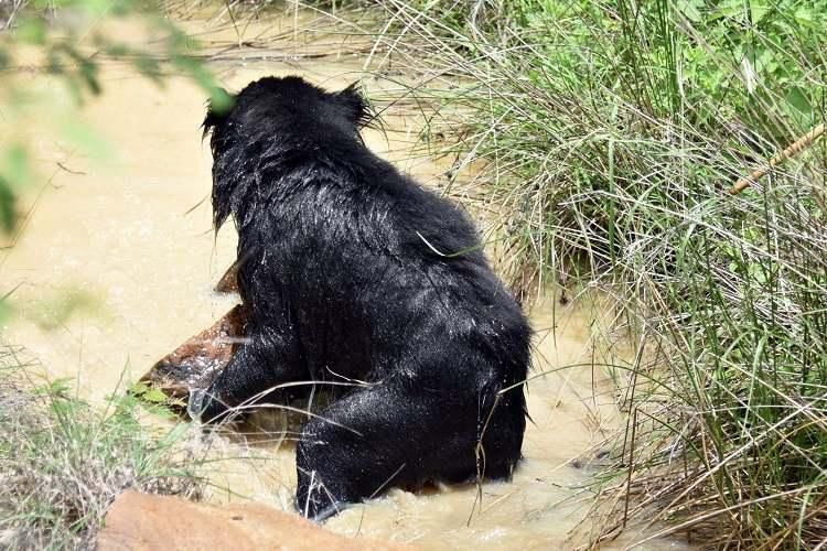 Sloth bear critically hurt near Bengaluru by explosive concealed in food bait by poachers