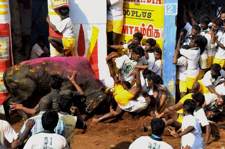 SC says tradition cant justify practices fixes hearing on jallikattu for Aug 30
