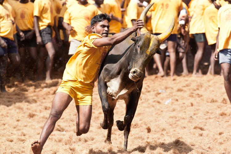 How does law allow Bakrid but not Jallikattu and is religion the way out of the ban
