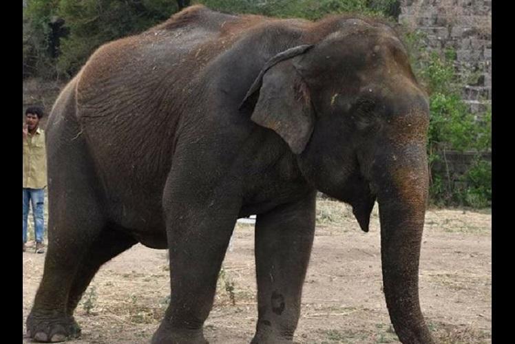 Female ♀ Asian elephant (Elephas maximus) Jamuna at Nehru Zoological Park
