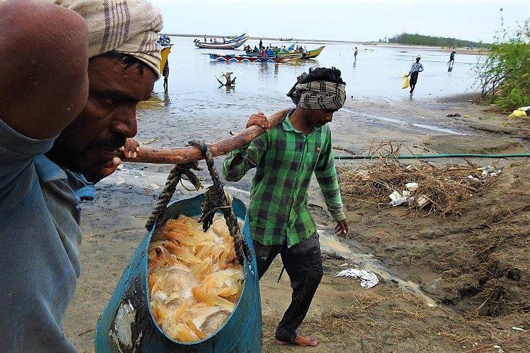 Jewels of the sea Machilipatnam locals find livelihood in jellyfish during fishing ban