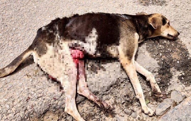 Shoddy birth control plan by BBMP is putting Bengalurus stray dogs in danger