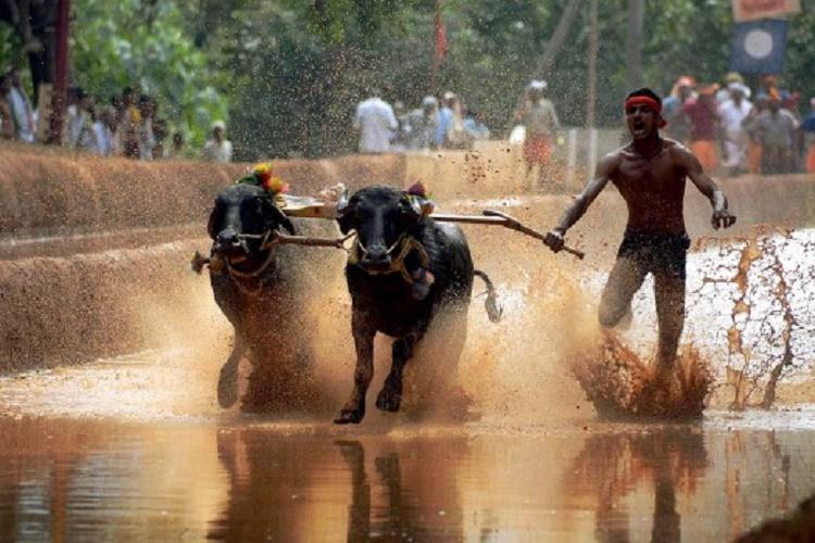 Karnataka High Court bans Kambala buffalo races for severe animal cruelty