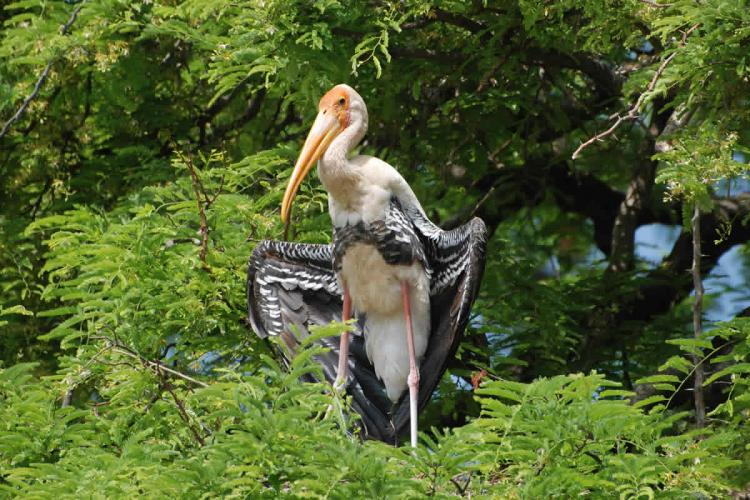 Painted stork on tree at Karnatakas Kaggaladu bird sanctuary
