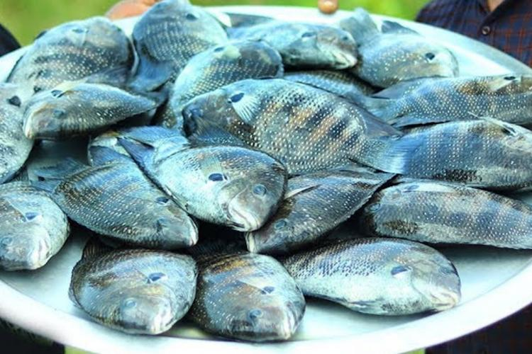Major boost for Karimeen production as Kochi complex develops facility for breeding