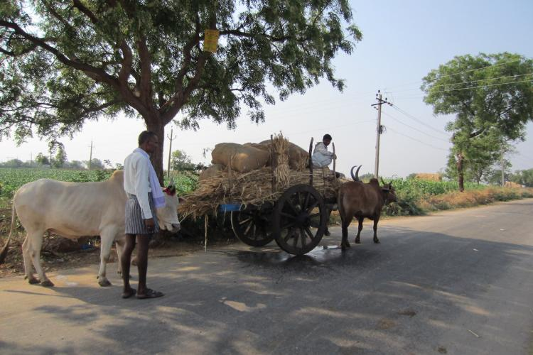 Two farmers in Karnatakas Yadgir transport crop to a local market using a bullock cart