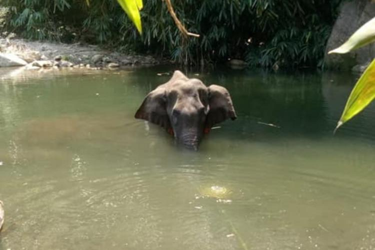 The Kerala elephant that allegedly ate an explosive laded pineapple based on whose death an advocate has approached the Supreme Court