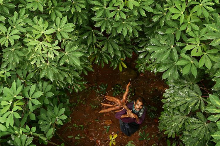 An aerial view of tapioca farmer  Palakuzhiyil Prasad, who is standing in the middle of the farm holding a bunch of tapioca