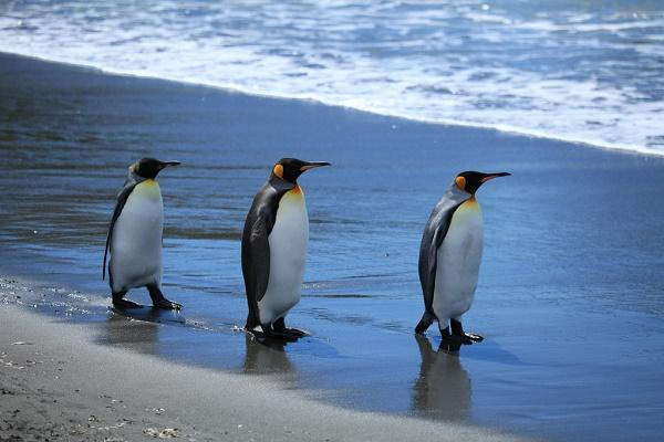 King penguins sleep with an ear out for predators