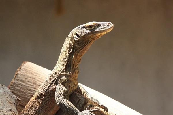 The dragons are here Madras Croc Bank acquires Komodo dragons for first time in India