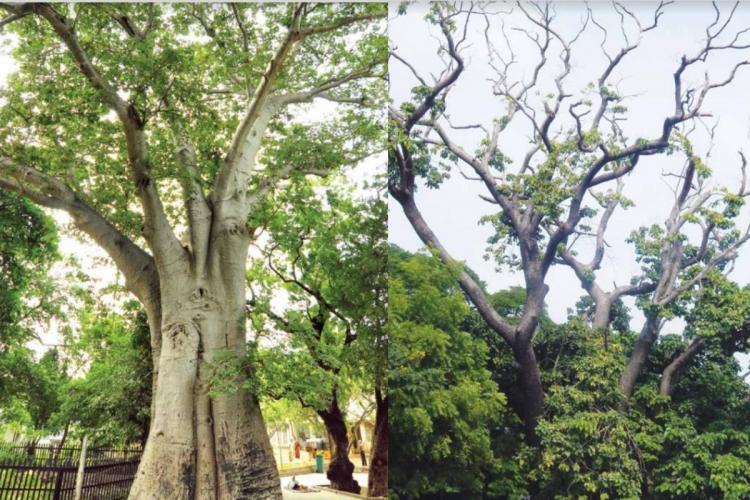 A baobab tree and a sandbox tree in Chennai