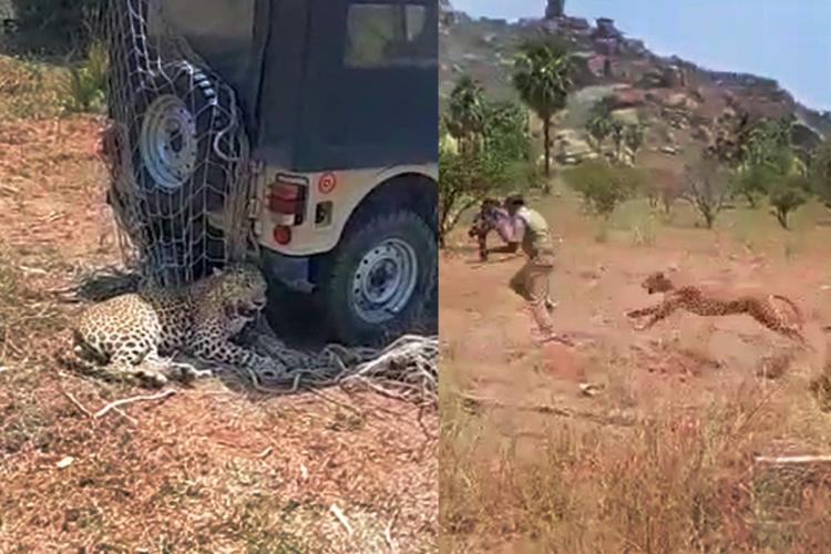 Leopard rescued from Telangana village dies post mortem says asphyxia and haemorrhage