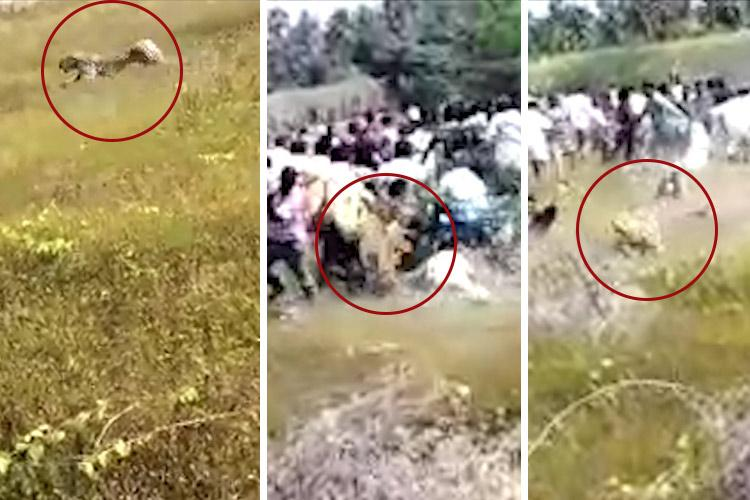 Leopard charges at crowd and injures 4 in TNs Vellore visuals go viral