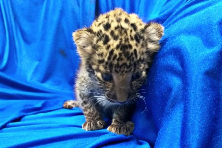 Smuggled Leopard Cub From Bangkok Rescued At Chennai Airport