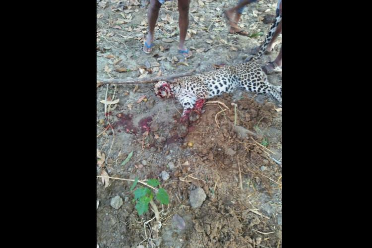 TN farmer hacks leopard to death to protect his cattle