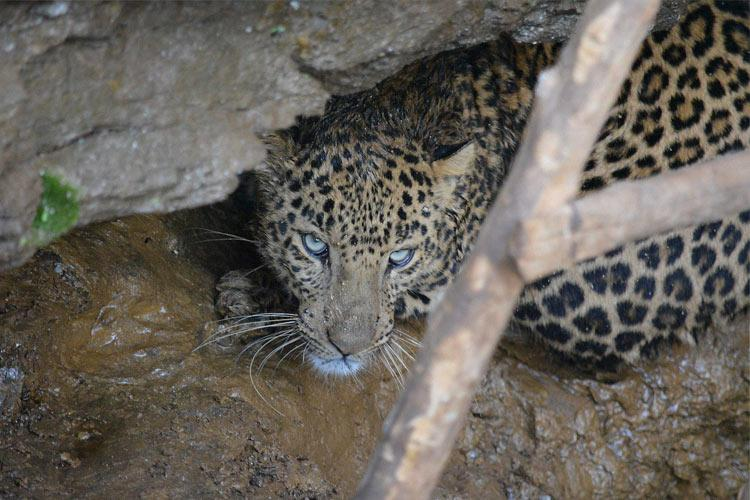 No evidence of leopard on the prowl in Hyderabad say forest officials