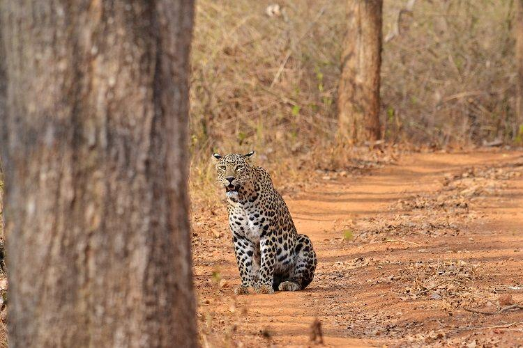 Livestock sustains leopard populations in tea gardens of West Bengal Study