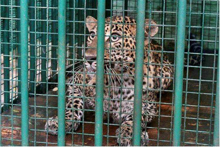 After high drama leopard captured from house in Karnatakas Tumakuru town