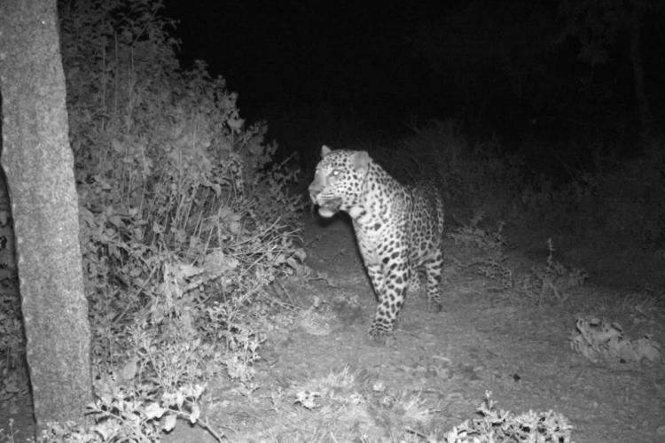 A black-and-white image of a leopard caught on camera trap in Anjanadri Hills in Karnatakas Koppal