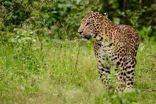 Leopard sighted on Telangana University campus efforts underway to nab it