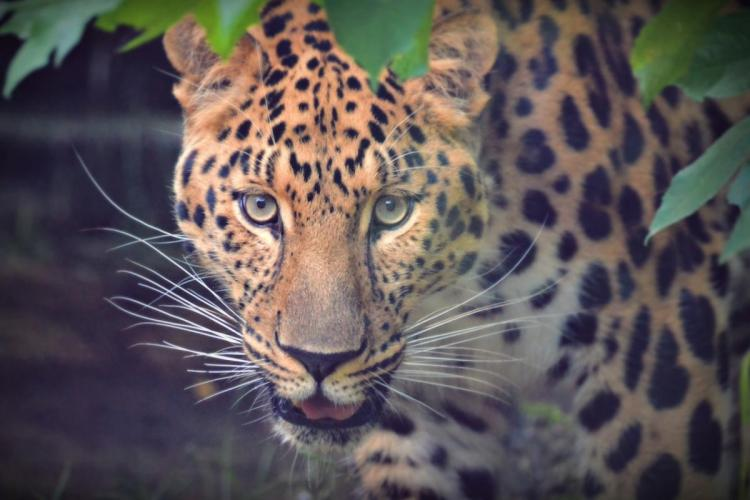 12-year-old boy in Mysuru escapes leopard attack by poking it in the eye