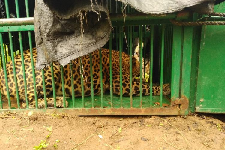 Leopard caught in a green cage