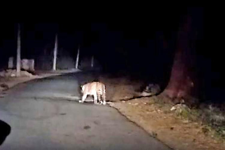 Video of leopard and porcupine spotted near Mysuru goes viral sparks panic in city